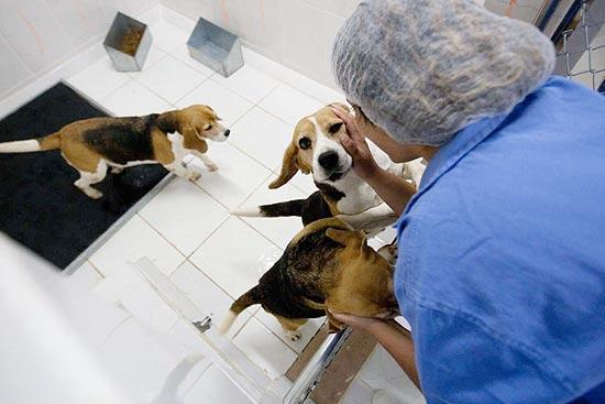 Funcionária com cães mantidos em cativeiro no Instituto Royal, que realiza pesquisas de medicamentos (Imagem: Danilo Verpa/Folhapress)
