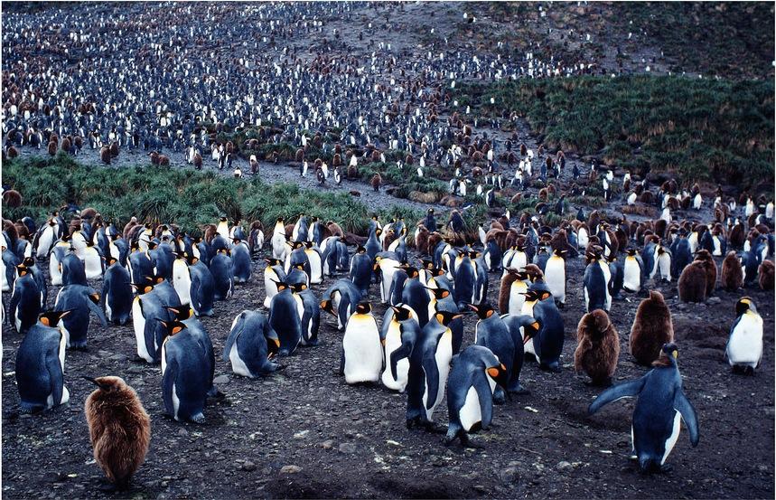 Colônia de pinguins-reis. Imagem: Y. J. Rey-Millet/WWF-Canon/Divulgação