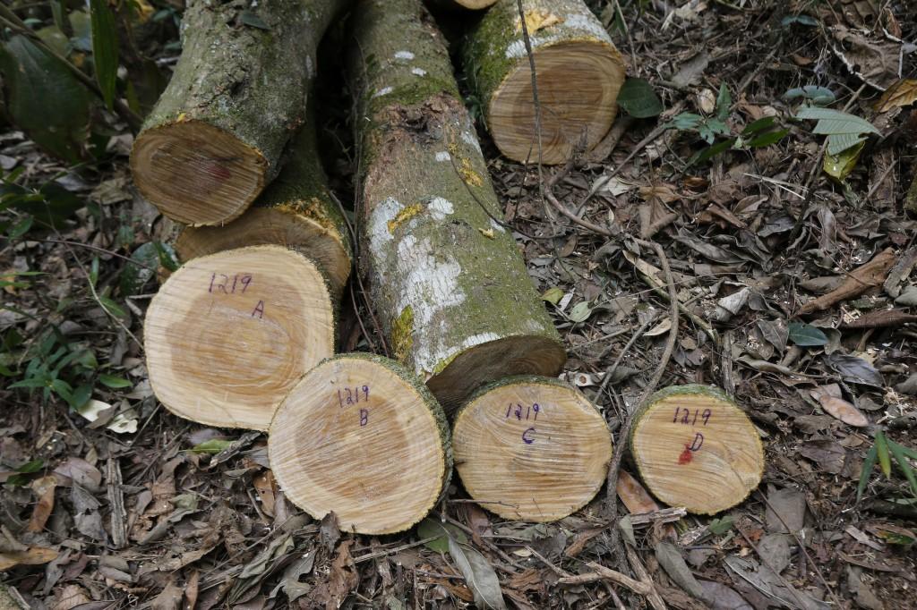 Discos de troncos de árvores  , cortados para serem analisados em laboratório do campus da USP em Piracicaba (SP) para calcular armazenamento de carbono. Imagem: Moacyr Lopes Júnior/FolhaPress, 25.set.2014