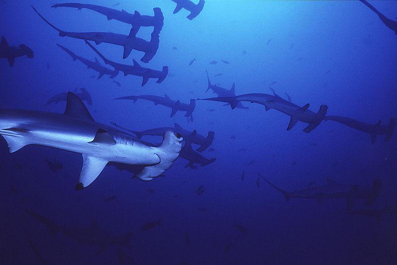 """Tubarão-martelo da espécie Sphyrna lewin, considerada na categoria """"Criticamente em perigo"""", na lista divulgada em 17 de dezembro. Imagem: Sewatch.org/Creative Commons"""